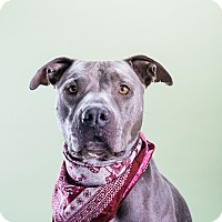 Adopt A Pet :: Shiraz - Los Angeles, CA