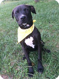 Labrador Retriever Mix Puppy for adoption in Albemarle, North Carolina - Mali