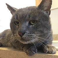 Domestic Shorthair Cat for adoption in Saint Clair, Missouri - Felix