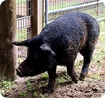 Pig (Farm) for adoption in Brooksville, Florida - TINY
