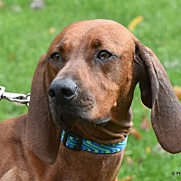 Adopt A Pet :: Ame - Westminster, MD