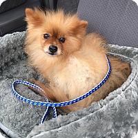 Adopt A Pet :: Arye - Van Nuys, CA