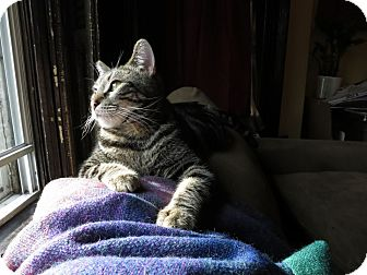 American Shorthair Cat for adoption in Brooklyn, New York - Leo