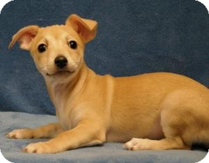 Chihuahua/Dachshund Mix Dog for adoption in Sacramento, California - Sweet Pea