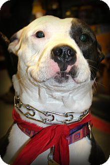 Pit Bull Terrier Mix Dog for adoption in Sinking Spring, Pennsylvania - Sophie