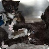 Adopt A Pet :: Domino - Dallas, TX