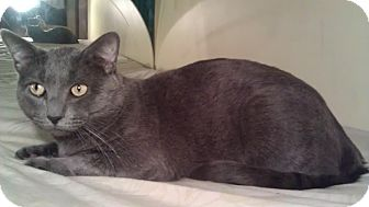Russian Blue Cat for adoption in Cranford/Rartian, New Jersey - Sterling