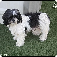 Adopt A Pet :: Belle - Rockwall, TX