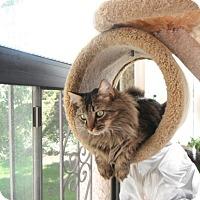 Adopt A Pet :: kattopu - Laguna Woods, CA