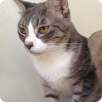 Domestic Shorthair Cat for adoption in Houston, Texas - Marcel