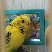 Budgie for adoption in Beach, North Dakota - Little One & Too