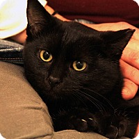 Domestic Shorthair Cat for adoption in St. Louis, Missouri - Glinka