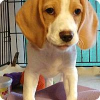 Adopt A Pet :: Cal - House Springs, MO