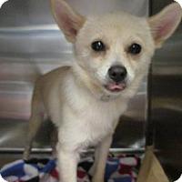 Adopt A Pet :: Pebbles - Lebanon, CT