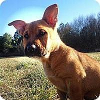 Shiba Inu Mix Dog for adoption in Alexandria, Virginia - Rambler Keith, GA