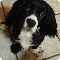 Adopt A Pet :: Bernard - Alpharetta, GA