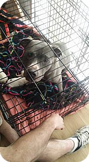 Pit Bull Terrier Mix Dog for adoption in Hopkinsville, Kentucky - Chyna