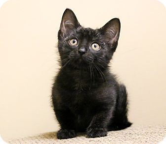 Domestic Shorthair Kitten for adoption in Chicago, Illinois - Carter