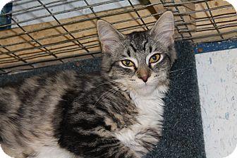 Domestic Shorthair Kitten for adoption in Redding, California - Bootsie
