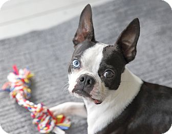 Boston Terrier Mix Dog for adoption in Courtland, Alabama - Cosmo