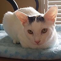 Calico Cat for adoption in Homosassa, Florida - Fluffy