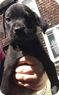 Boxer Puppy for adoption in Danbury, Connecticut - Joe