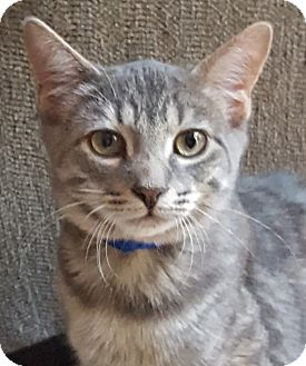 Domestic Shorthair Cat for adoption in Elmwood Park, New Jersey - Willie