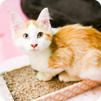 Domestic Shorthair Kitten for adoption in Austin, Texas - Lily