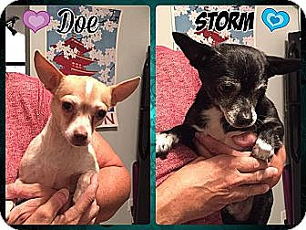 Chihuahua Mix Dog for adoption in Windham, New Hampshire - Doe and Storm (bonded pair)