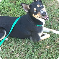 Husky Mix Dog for adoption in Denham Springs, Louisiana - Lola