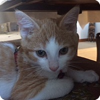 Adopt A Pet :: George Weasley - New Albany, OH