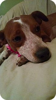 English Springer Spaniel/Beagle Mix Puppy for adoption in Nashville, Tennessee - SCOUT