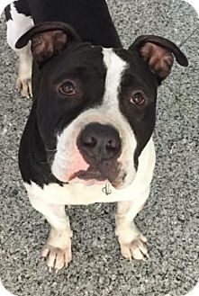 American Staffordshire Terrier Mix Dog for adoption in San Diego, California - COURTESY LISTING: BRUTUS