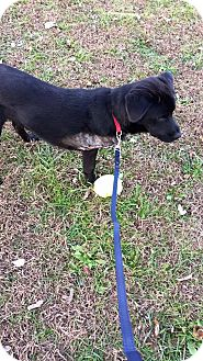 Labrador Retriever Mix Dog for adoption in Newport, Kentucky - Jordy