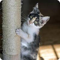 Calico Kitten for adoption in Dallas, Texas - Racc