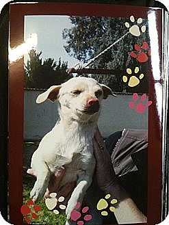 Chihuahua Mix Dog for adoption in San Ramon, California - Sissy