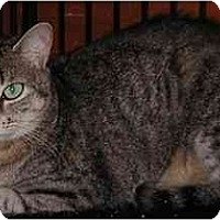 Domestic Shorthair Cat for adoption in Alpharetta, Georgia - Loopy