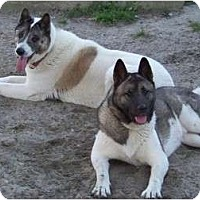 Akita Dog for adoption in Virginia Beach, Virginia - Belle