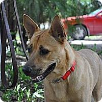 Adopt A Pet :: shane - hollywood, FL