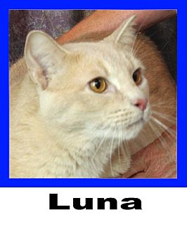Domestic Shorthair Cat for adoption in Plano, Texas - Luna