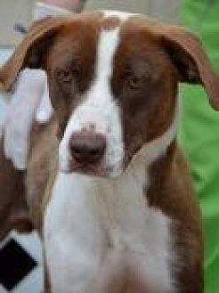 Pointer/Anatolian Shepherd Mix Dog for adoption in Jackson, Mississippi - Felicia