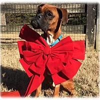 Adopt A Pet :: Rocco - Brentwood, TN