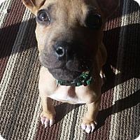 Adopt A Pet :: Dobby - Parker, CO