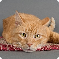 Domestic Shorthair Cat for adoption in Wilmington, Delaware - Rusty