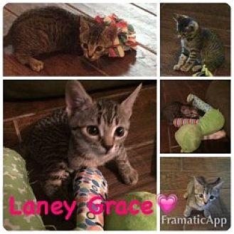 Domestic Shorthair Kitten for adoption in Centerville, Georgia - Laney Grace