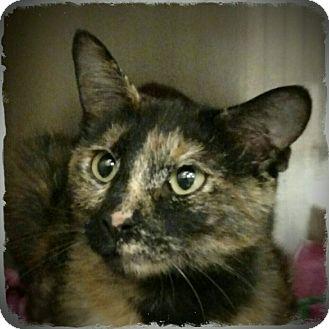 Domestic Shorthair Cat for adoption in Pueblo West, Colorado - Tilly