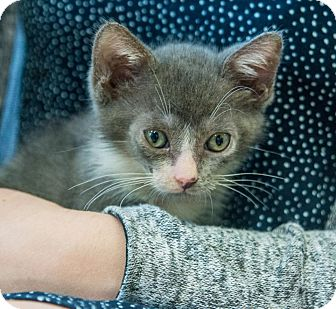 Domestic Shorthair Kitten for adoption in New York, New York - Boomer