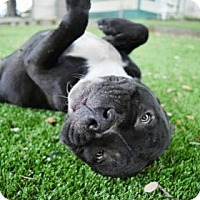 Adopt A Pet :: Doodlebug - Clearwater, FL