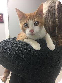 Domestic Shorthair Cat for adoption in Fall River, Massachusetts - Braveheart