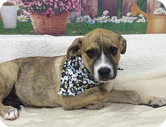 Catahoula Leopard Dog Mix Puppy for adoption in Fort Pierce, Florida - CHESTER